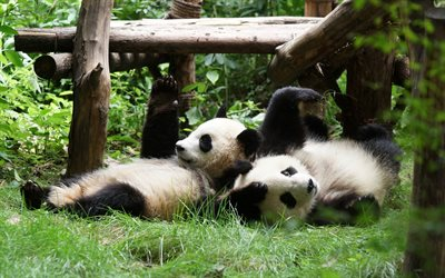 two pandas, zoo, cute animals, funny animals, Ailuropoda melanoleuca, lying pandas, panda