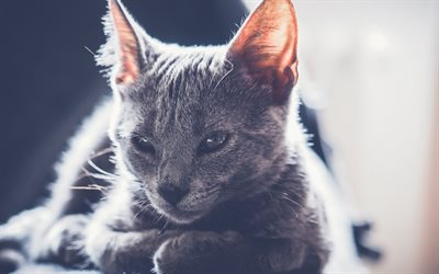 gray cat, pets, cute animals, cats