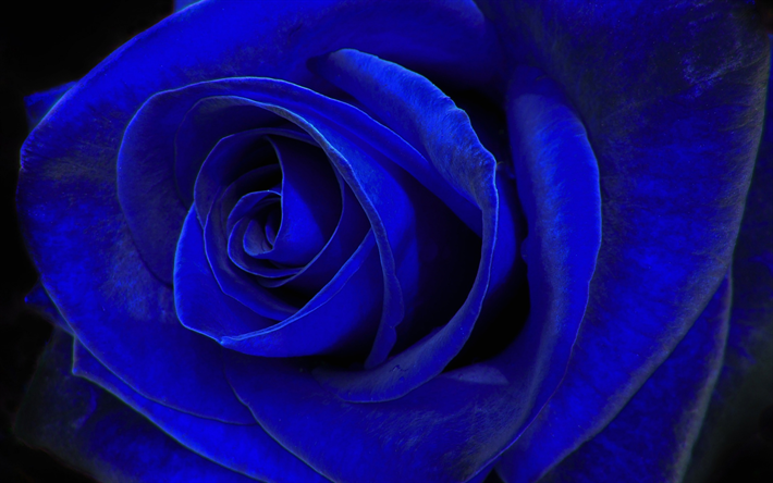 blue rose, blue flower, rosebud, macro
