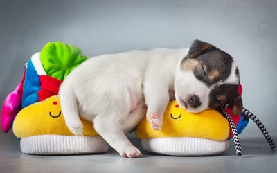 small dog, puppy, cute animals, sleeping dog, pets, slippers, dog year concepts