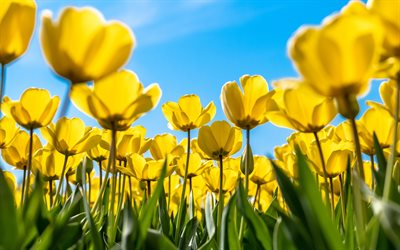 yellow tulips, 4k, blue sky, spring, yellow flowers, tulip field, macro, tulips, bokeh, spring flowers