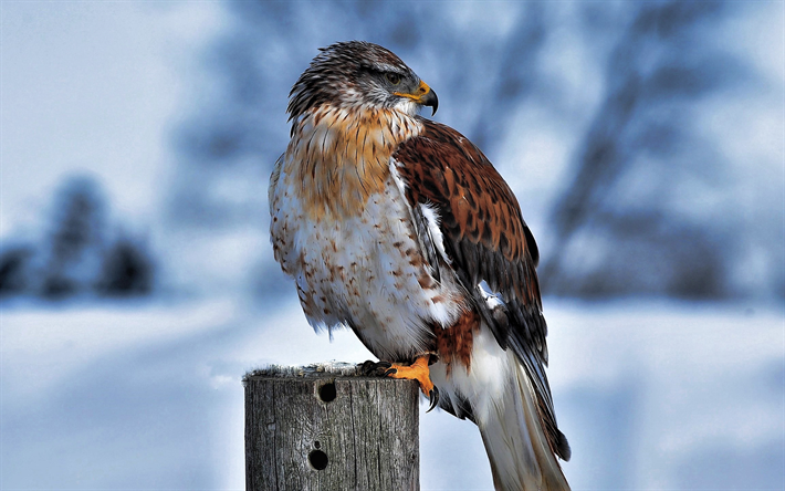 Ferruginous Hawk, winter, wildlife, HDR, Buteo regalis, royal hawk, wild birds, bokeh