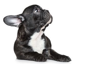 french bulldog, small black puppy, pets, cute animals, dogs