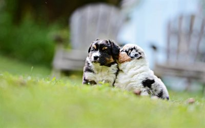 Australian Shepherd, puppies, lawn, small Aussie, bokeh, pets, dogs, cute animals, Aussie, Australian Shepherd Dog, Aussie Dogs
