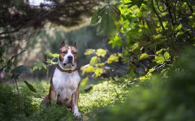 american staffordshire terrier, big brown white dog, pets, dogs, forest