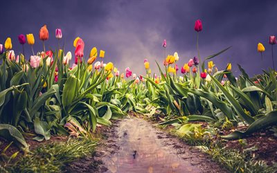 field with tulips, spring wildflowers, tulips, flower field, evening, background with tulips, spring