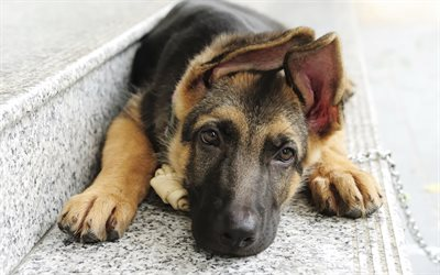 german shepherd, little puppy, cute animals, little german shepherd, pets, dogs