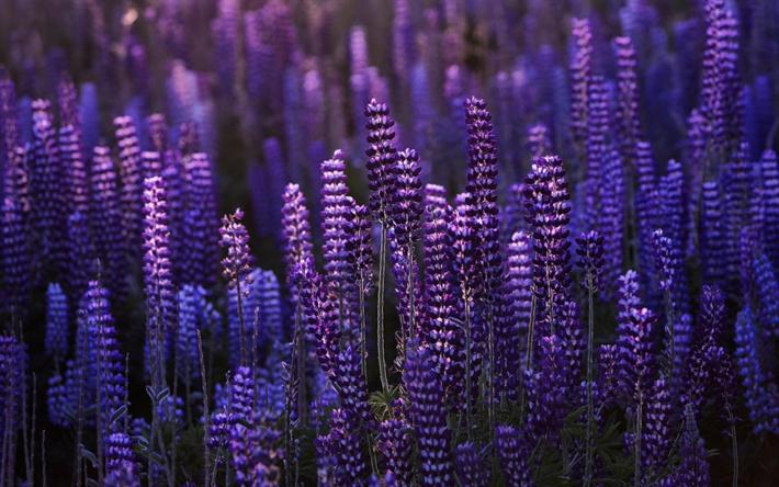 Scarica Sfondi Lupino Viola Fiori Sera Tramonto Fiori Viola Per