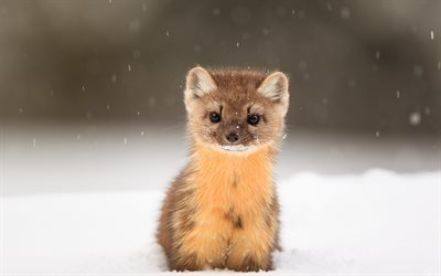 American marten, Martes americana, cute little animal, snow, wildlife, wild animals, Yellowstone National Park