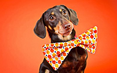 Dachshund, dog with bow, cute dog, orange background, brown dachshund, dogs, pets, cute animals, Dachshund Dog