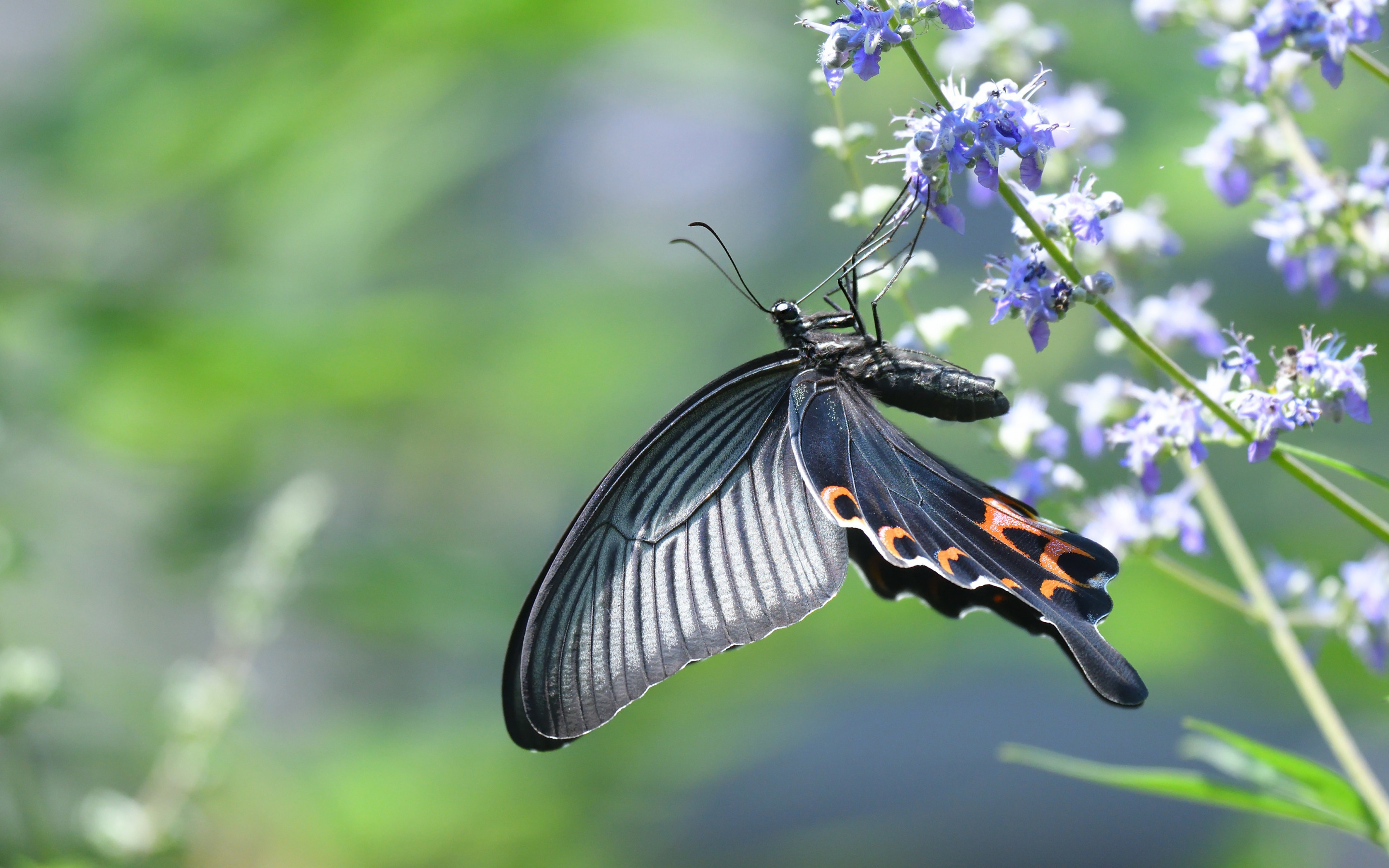 Old World swallowtail, butterfly, Papilio machaon, beautiful butterfly, machaon