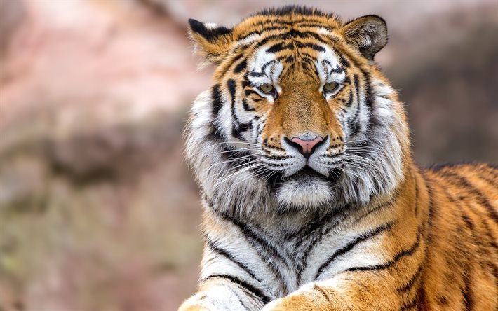 Tiger, predator, wildlife, dangerous animals, tigers