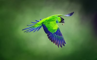 Nanday parakeet, black-hooded parakeet, green parrot, tropical birds, beautiful green bird, parrot, South America, Brazil