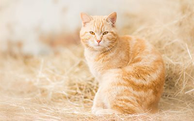 ginger cat, cute animals, pets, cats