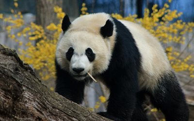 big panda, cute animals, wildlife, pandas, white black bear