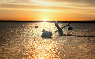 sunset, white swans, beautiful white birds, lake, waves, take-off of a swan