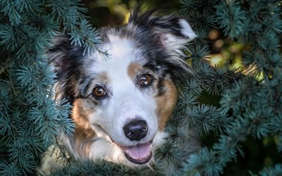 Australian Shepherd Dog, cute animals, dog, aussie, fir-tree, needles, dog breeds