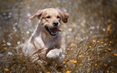 Golden Retriever, bokeh, labradors, running dog, lawn, dogs, pets, cute dogs, small labrador, Golden Retriever Dogs