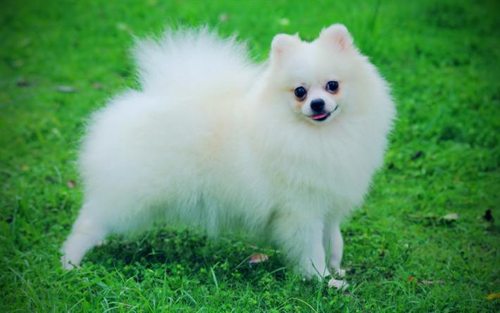 ダウンロード画像 白ポメラニアン, 4k, 犬, 白いスピッツ