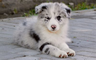 Border collie, small white fluffy puppy, pets, small dog, dog breeds