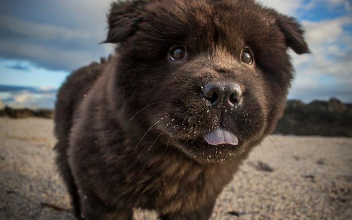 Fantastic Wallpaper Black Adorable Dog - thumb2-black-chow-chow-puppy-furry-dog-close-up-cute-dog  Photograph_48177  .jpg