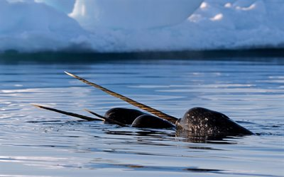 Narwhal, Nunavut, toothed whale, wildlife, wild animals, Greenland, Canada