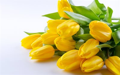 yellow tulips, spring flowers, tulips, yellow flowers, tulips on a white background, background with tulips