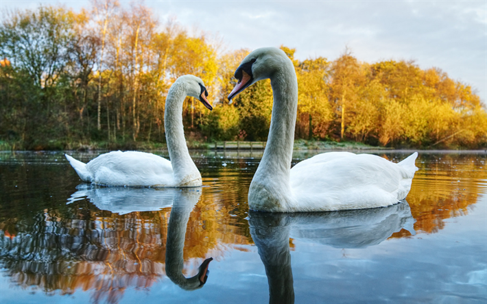 lake, white swans, beautiful birds, couple of swans, park, evening, sunset