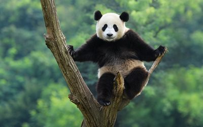 panda on the tree, cute animals, panda, China, bears