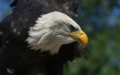 bald eagle, beautiful bird, bird of prey, USA, eagles, american symbol