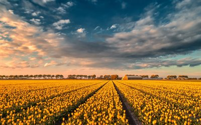 yellow tulips, tulip field, sunset, evening, summer, wildflowers, tulips, Netherlands