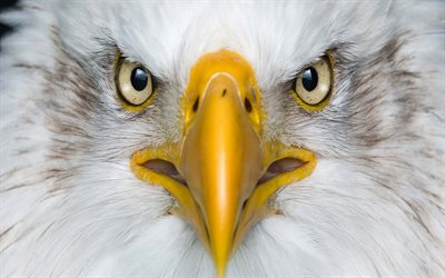 Bald eagle, bird of prey, yellow beak, eyes, predator, american symbol, eagle