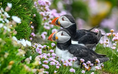 puffins, flowers, wildlife, Fratercula arctica, cute birds, Atlantic puffin