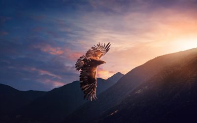 hawk, bird of prey, evening, sunset, flying eagle, USA