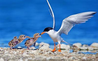 Seagull, mother and cub, wildlife, chicks, fish, Laridae