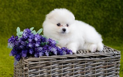 Pomeranian, white fluffy puppy, cute white small dog, spitz, puppies, cute animals