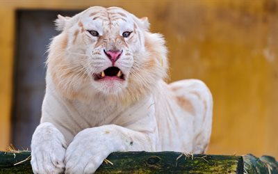 White tiger, zoo, predator, wildlife, tigers