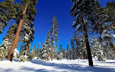 forest, winter, pine, trees, snow