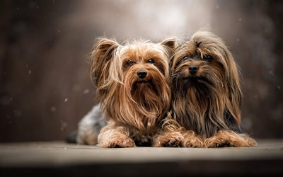 Yorkshire Terrier, two dogs, curly dogs, cute little animals, dogs