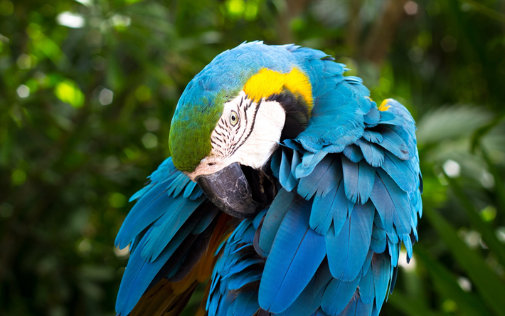 Blue-and-yellow macaw, beautiful parrot, birds, macaws, parrots, South America