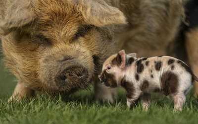 pig and piglets, close-up, funny animals, farm, mother and cubs, pig, piglets