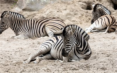 zebras, wildlife, Africa, lying zebra, striped animals, zebra