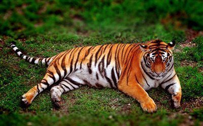 Amur tiger, predator, tiger, green grass, wildlife