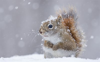 squirrel, cute animals, winter, snow