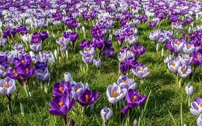 Crocuses, spring, wildflowers, saffron, green grass