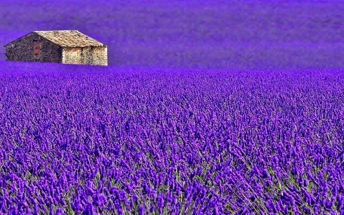 Provence, lavender, meadow, house, plantation, France