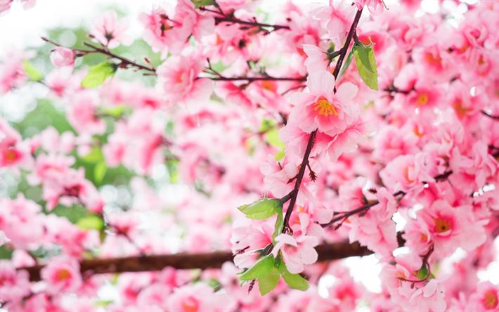 Descargar Fondos De Pantalla Primavera, Sakura, Japón