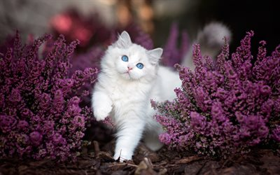Ragdoll Cat, flowers, denectic cat, kitten, white ragdoll, cute animals, blue eyes, cats, pets, Ragdoll
