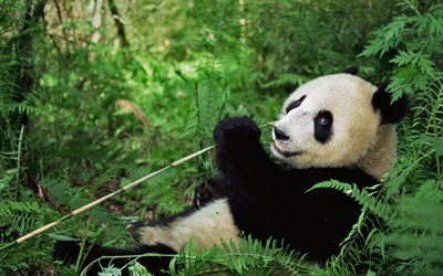 big panda, wildlife, forest, bear, bamboo, pandas, Wolong National Nature Reserve, Wenchuan County, Sichuan Province, China