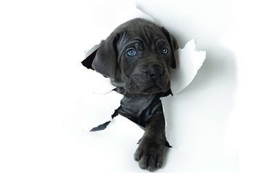 Cane Corso, paper, pets, puppy, black Cane Corso, cute animals, dogs